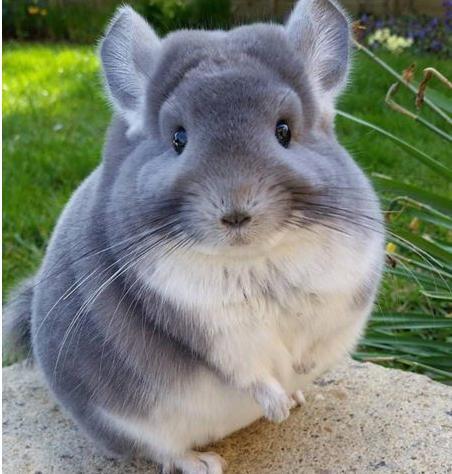 这只外型有点像老鼠又像兔子的可爱动物,因为尾巴上的毛长而蓬松