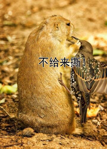 土拔鼠吃东西遭强势抢劫,整只鼠都不好了