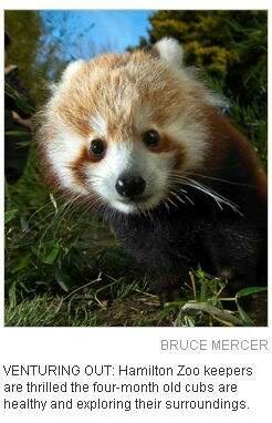 毕竟……小熊猫也超级可爱啊!