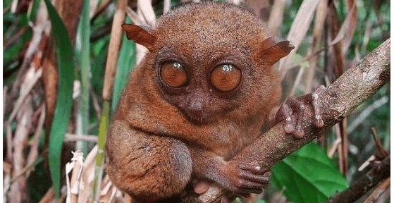 15种最稀奇古怪动物,邦加眼镜猴的眼睛比它们的大脑还